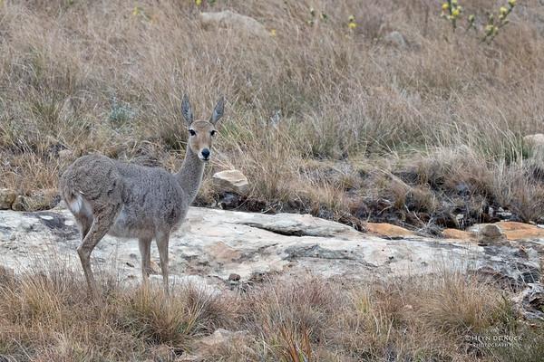 Grey Rhebok, Goldengate NP, FS, SA, Oct 2016-1