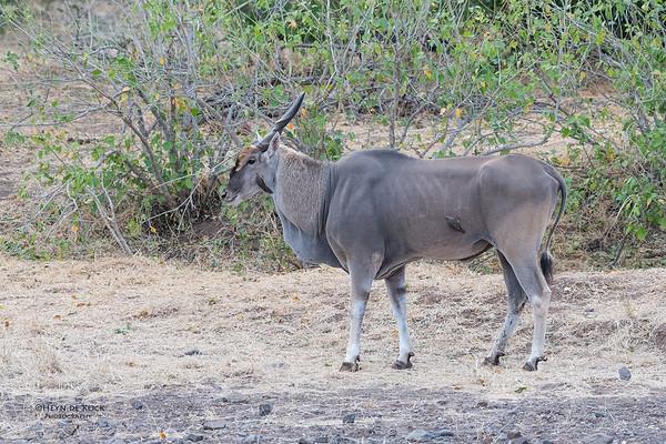 Eland, Mashatu GR, Botswana, May 2017-2