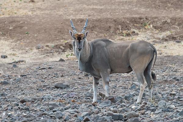 Eland, Mashatu GR, Botswana, May 2017-1