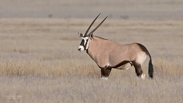 Gemsbok, Southern Namibia, July 2011