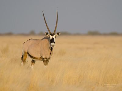 Gemsbok, Etosha NP, Namibia, July 2011-1