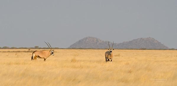 Gemsbok, Etosha NP, Namibia, July 2011