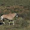 Gemsbuck, Karoo NP, WC, SA, Jan 2014-1