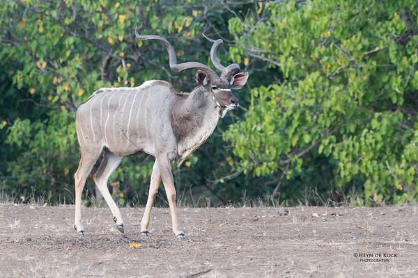 Greater Kudu, Mashatu GR, Botswana, May 2017-1