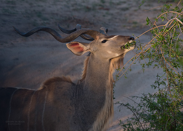 Kudu, Sabi Sands (EP), SA, Oct 2016-1