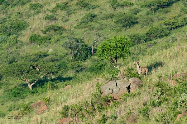 Kudu, Itala NP, KZN, SA Jan 2014-2