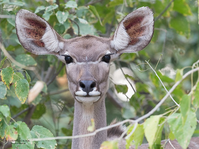 Greater Kudu, Mashatu GR, Botswana, May 2017-3
