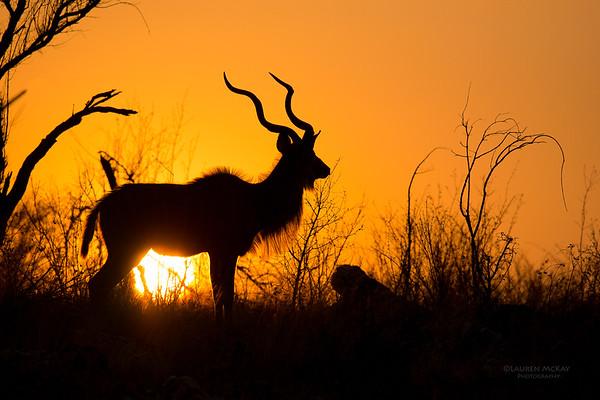 Kudu, Madikwe GR (Imp), SA, Sept 2015