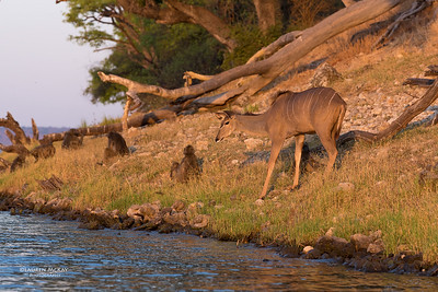 Kudu, Chobe River, NAM, Oct 2016-1