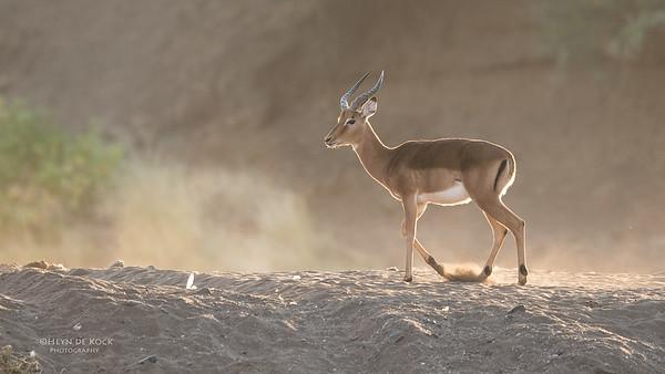 Impala, Mashatu GR, Botswana, May 2017-3