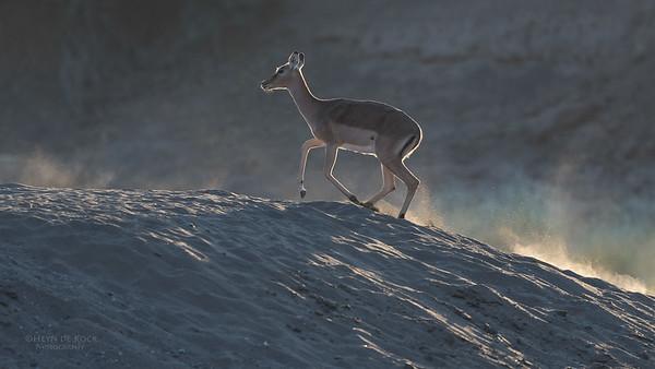 Impala, Mashatu GR, Botswana, May 2017-1