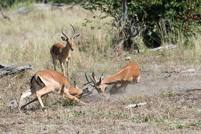 Impala, Khwai River Concession, Botwana, May 2017-1