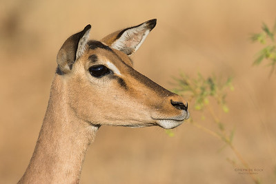 Impala, Pilansberg, SA, Sept 2016-5