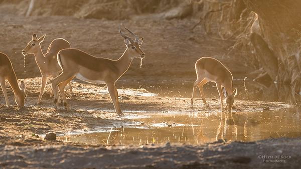 Impala, Mashatu GR, Botswana, May 2017-2
