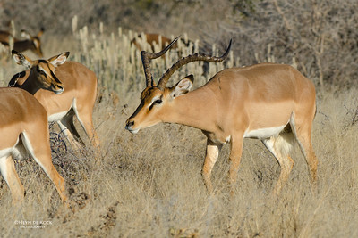 Black-faced Impala, Etosha NP, Namibia, July 2011