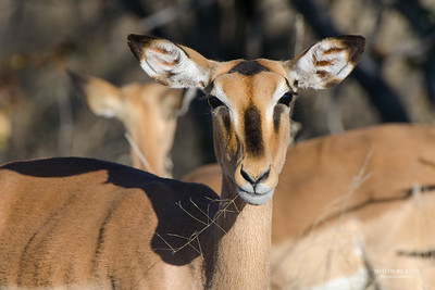 Black-faced Impala, Etosha NP, Namibia, July 2011-1
