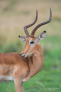 Impala, Pilansberg National Park, SA, Dec 2013-3