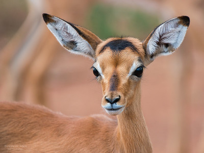 Impala, lamb, Pilansberg National Park, SA, Dec 2013-2
