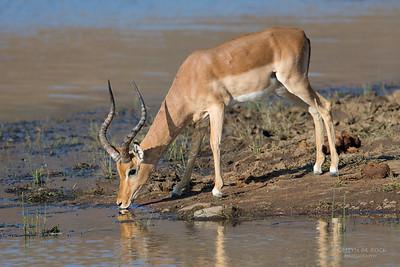 Impala, Pilansberg, SA, Sept 2016