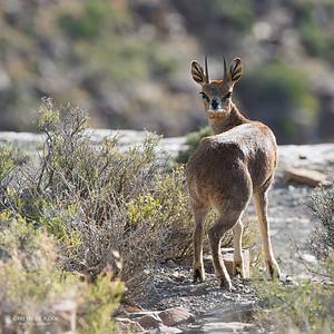 Klipspringer, Karoo NP, WC, SA, Jan 2014-1