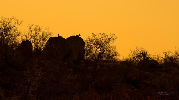 Klipspringer, Kruger NP, SA, Sept 2015