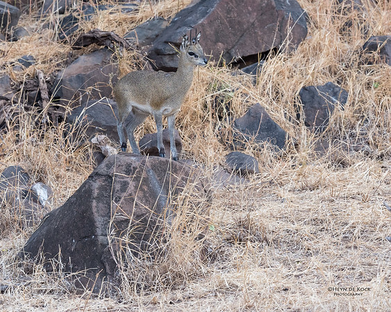 Klipspringer, Mashatu GR, Botswana, May 2017-1