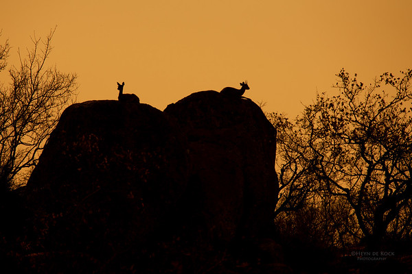 Klipspringer, Kruger NP, SA, Sept 2015-1