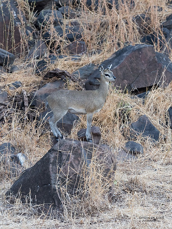 Klipspringer, Mashatu GR, Botswana, May 2017-2