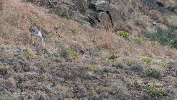 Mountain Reedbuck, Goldengate NP, FS, SA, Oct 2016-2