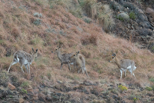 Mountain Reedbuck, Goldengate NP, FS, SA, Oct 2016-1