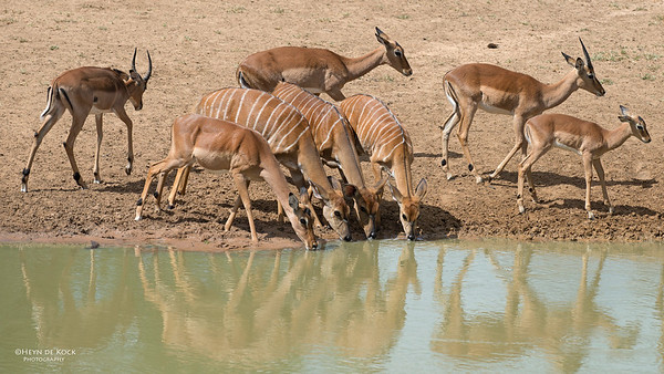 Njala + Impala, Mkuze GR, KZN, SA, Jan 2014-1