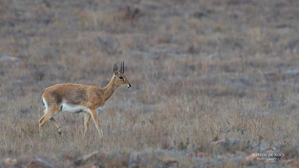 Oribi, Verloren Valei NR, Dullstroom, SA, Oct 2016-9