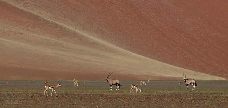 Gemsbok & Springbok, Sossusvlei, Namibia, July 2011