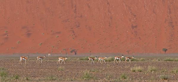 Springbok, Sossasvlei, Namibia, July 2011