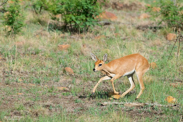 Steenbok, f, Pilansberg National Park, SA, Dec 2013-1 copy