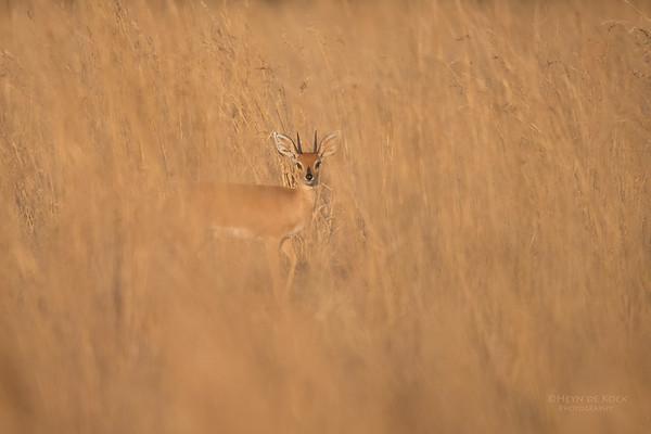 Steenbok, Pilansberg, SA, Sept 2016-2