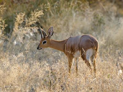 Steenbok, Etosha NP, Namibia, July 2011
