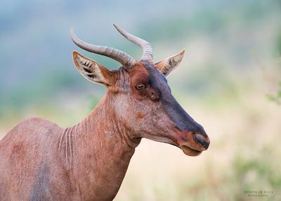 Tsessebe, Pilansberg National Park, SA, Dec 2013-21