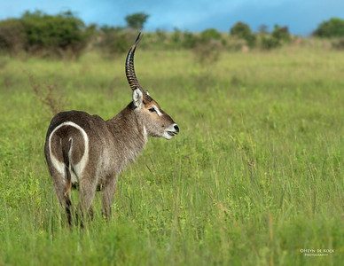 Waterbuck, Ithala NP, Jan-2014-1