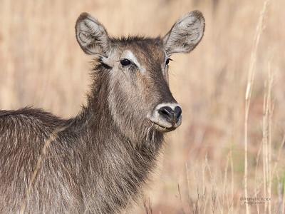 Waterbuck, Pilansberg, SA, Sept 2016-1