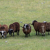 Arapawa Rams