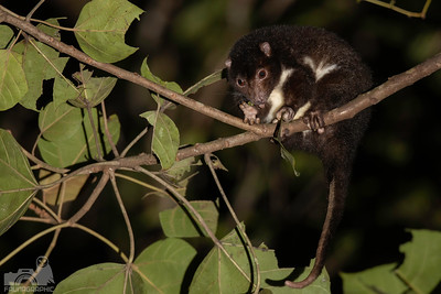 Herbert River Ringtail Possum