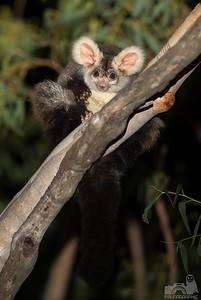 Southern Greater Glider (Pied Colour Form)