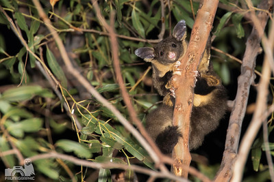 Yellow-bellied Glider