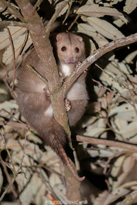 Daintree RIver Ringtail Possum