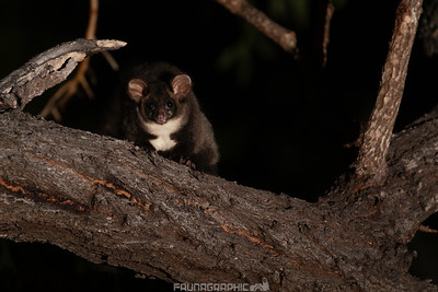 Central Greater Glider
