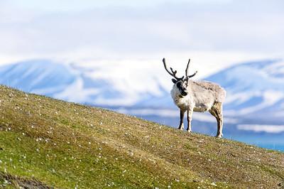 reindeer_1340