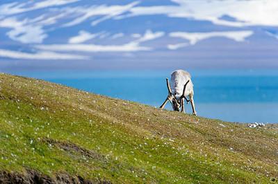 reindeer_1322