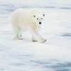 polar bear_1663