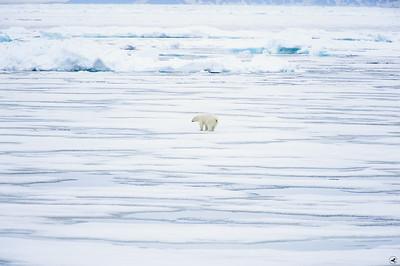 polar bear_1792